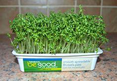 Mark's Veg Plot: Growing Cress on a windowsill