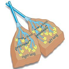 Fun way to teach about the Respiratory Sysyem, make Paper Bag Lungs and Straw Tracheas