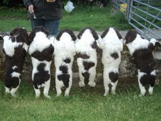 Springer Spaniel puppy butts!