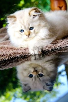 Only a handful of situations cannot be improved by cats in life. Traveling around the world can be a wonderful experience for Cute Kittens, Beautiful Kittens, Baby Kittens, Cute Cats And Kittens, Pretty Cats, Animals And Pets, Baby Animals, Cute Animals, Cool Cats