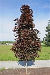 `Crimson Sentry' Norway maple is a bud sport of the common `Crimson King' Norway maple. It is prized as a small garden tree for areas where a much larger Norway maple would not be appropriate for space reasons.