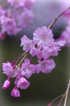 桜(さくら) 「八重紅枝垂(やえべにしだれ)」 Cherry blossoms (Prunus pendula 'Plena-rosea')