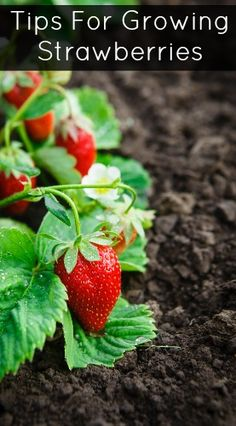 Tips for growing your own strawberries.