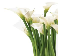 White calla lilies _ All year round availability