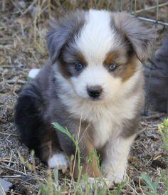Mini Aussie Puppies!!