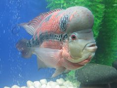 flowerhorn cichlids are ornamental aquarium fish that are man-made hybrids that do not exist in nature ~ photo by najeebkhan2009