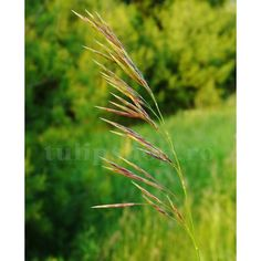Pret: 685 Lei  • Obsiga Nearistata este o planta graminee folosita ca furaj proaspat sau conservat, la hranirea animalelor. • Planta este foarte productiva, cu 40 - 45 to/ha masa verde, si 10 - 11 to/ha masa uscata. • Obsiga ajunge la o inaltime de 1 m, si are o crestere viguroasa. • Are o rezistenta buna la seceta, ger si apa prea multa. • Perioada optima pentru insamantare este de primavara pana toamna tarziu. Lawn, Plant