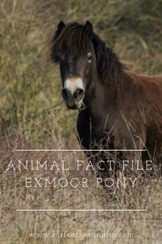 Once there were only 50 Exmoor ponies left, thankfully the population is recovering and here we look at features and facts about them. Animal Fact File, Animal Facts, Ponies, Equestrian, Animals, Animales, Animaux, Horseback Riding, Animal