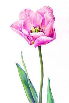 "ORIGINAL Colored Pencil  Drawing ""Tulip"", Illustration, Pink Tulip, 10""x8"""