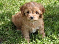 Cavapoo Puppies - pretty cute