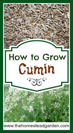 Indoor Vegetable Gardening How to Grow Cumin - Learn how to grow cumin in your garden. This is a popular kitchen item that you can grow at home. Enjoy the beauty and aroma of a cumin plant in your yard. Vegetable Garden Planner, Indoor Vegetable Gardening, Organic Gardening Tips, Container Gardening, Garden Plants, Herb Gardening, Gardening Blogs, Kitchen Gardening, Gardening Vegetables