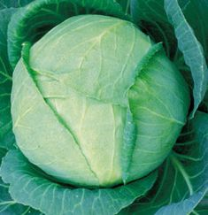 Check out the deal on Cabbage Tropic Giant 30 seeds at Hazzard's Home Gardener Scalp Psoriasis Shampoo, What Is Psoriasis, Psoriasis On Face, Psoriasis Arthritis, Plaque Psoriasis, Psoriasis Remedies, Perennial Vegetables, Ornamental Grasses, Vegetables