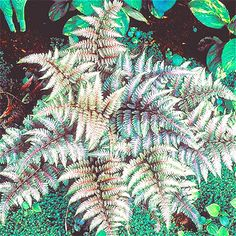 Free Shipping! 10pcs Rare Fern Seeds, Vines, Climbing Plants, Ornamental Bonsai Seeds For Home Garden #>=#>=#>=#>=#> Click on the pin to check out discount price, color, size, shipping, etc. Save and like it!