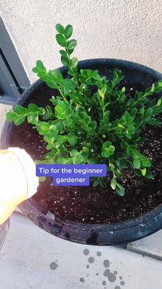 Plants Under Trees, Inside Plants, Cheap Plants, Cool Plants, Growing Gardens, Growing Plants, Easy House Plants, Household Plants, Pothos Plant