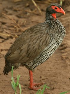 Pternistis afer (Red-necked spurfowl, Red-necked francolin)      Rooikeelfisant