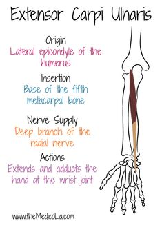 All Upper Limb Muscles Notes & Drawings Medicine Notes, Medicine Student, Hand Anatomy, Body Anatomy, Hand Therapy, Massage Therapy, Muscles Of Upper Limb, Upper Limb Anatomy, Human Muscle Anatomy