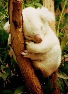 White koala bear taking a nap