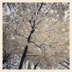 mintcandy 올 봄 벚꽃입니다..^^ #평화꽃