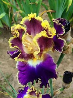 Aren't you a fancy frilly Iris! Iris Flowers, Types Of Flowers, Planting Flowers, Unusual Flowers, Amazing Flowers, Beautiful Flowers, Dame Nature, Iris Garden, Bearded Iris