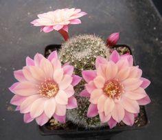 Cacti And Succulents, Planting Succulents, Cactus Plants, Planting Flowers, Unusual Flowers, Rare Flowers, Beautiful Flowers, How To Grow Cactus, Cactus Illustration