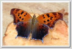 Question Mark Butterfly; Polygonia interrogationis