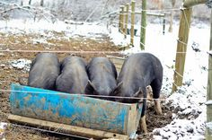 On Just A Couple Acres: ~Your Questions: Pigs in the Pasture~