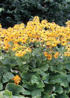 Ligularia, Goldenray, Othello LIGULARIA DENTATA 'OTHELLO' Beet red spring leaves turning purple for summer, bright orange blooms. Backgrounds, damp shady spots.