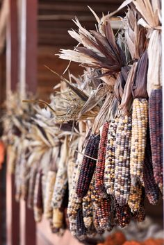 Beautiful ears of dried Indian Corn. Harvest Time, Fall Harvest, Harvest Farm, Autumn Day, Autumn Leaves, Seasons Of The Year, Happy Fall Y'all, Fall Season, Fall Halloween