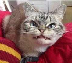 """""""O GRITO DO BICHO"""": Gato adotado faz sucesso por sua carinha de malvad..."""