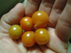 Cosecha de tomatitos silvestres, mi jardin