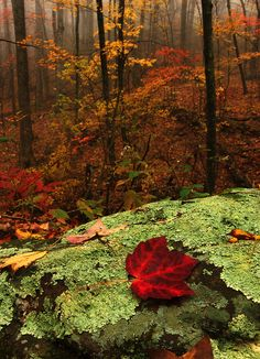 Deep in the Forest. We'd love to see the fall colors: ☀Doyles River Trail Shenandoah National Park Virginia ~ Deep in the Forest. by Brent McGuirt* Flor Magnolia, Seasons Of The Year, All Nature, Fall Season, Belle Photo, Beautiful World, Autumn Leaves, Red Leaves, Mother Nature