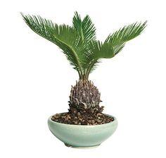 Hooseplan Bonsai Sego Palm Plant Tree China 7 Years Easy to Grow Office Gift Outdoor Bonsai Tree, Bonsai Trees For Sale, Indoor Bonsai, Bonsai Ficus, Jade Bonsai, Bonsai Art, Indoor Palm Trees, Indoor Palms, Palm Plant