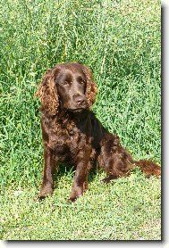 dogs retrievers view 1104x german spaniel deutscher wachtelhund dogs ...
