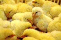Bondebladet – Vil forby dagens kylling