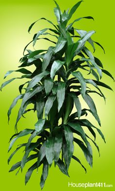 Long, dark green, pointed leaves on a dracaena janet craig Indoor Garden, Garden Plants, Indoor Plants, Janet Craig Plant, Dracaena Plant, Inside Garden, Low Light Plants, Plant Lighting, House Plant Care