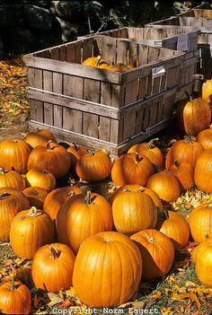 Orange Pumpkins For Sale, Red Apple Farm, Massachusetts│Norm Eggert Photography