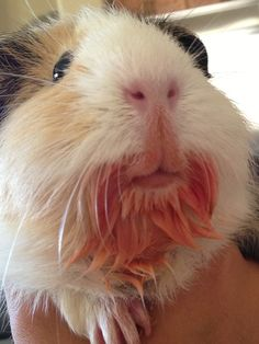 Guinea pig with tomato flavoured goatee! <3