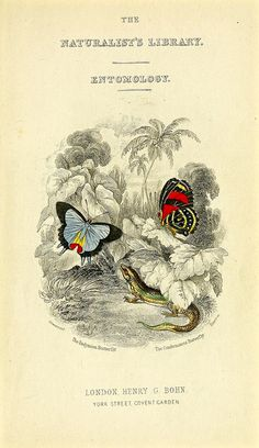 The Endyminion butterfly and the Condomanus butterfly (1858)   by Swallowtail Garden Seeds