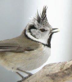 Kuifmees - soorten vogels in de tuin voederen en water geven