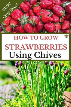 How to Grow Strawberries Using Chives - Wondering how to grow the BEST strawberry crop ever? Companion plant with chives! I'll explain why and answer questions about what other herbs you can plant with strawberries! Check out my proven tips and tricks! Strawberry Garden, Strawberry Plants, How To Plant Strawberries, Strawberry Companion Plants, Container Strawberries, Veg Garden, Fruit Garden, Vegetable Gardening, Veggie Gardens