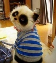 Funny pictures about Panda cats are better than regular cats. Oh, and cool pics about Panda cats are better than regular cats. Also, Panda cats are better than regular cats. I Love Cats, Cute Cats, Funny Cats, Funny Humor, Grumpy Cats, Funny Stuff, Baby Animals, Funny Animals, Cute Animals