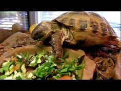 russian tortoise on pinterest tortoise enclosure