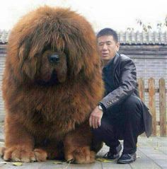 Tibetan Mastiff - OMG! I want this massive, cuddly, teddy bear doggie! ♥ For some reason, I like dogs that are either very tiny, or totally huge. Not so much on average or in-between.