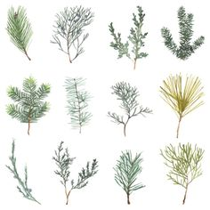 This print is an original watercolor illustration of evergreen sprigs. It is a Giclée print on thick Arches Aquarelle Canson paper. Print size is 9 x 12 Each print is signed and shipped flat, with a cardboard backing and plastic sleeve. Floral Illustrations, Botanical Illustration, Watercolor Illustration, Watercolor Paintings, Watercolor Artists, Abstract Paintings, Oil Paintings, Painting Art, Landscape Paintings