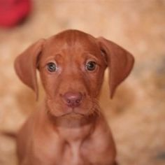 I have a vizsla and want another! So darn cute.