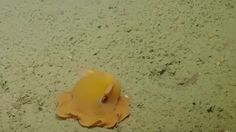 This Octopus Is a Little Camera Shy - World's largest collection of cat memes and other animals Tiny Octopus, Dumbo Octopus, Yellow Octopus, Little Octopus, Cute Octopus, Octopus Video, Cute Animal Photos, Cute Pictures, Nature