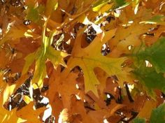 northern pin oak -- great fall color