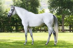HOLSTEINER Warmblood breed from Germany
