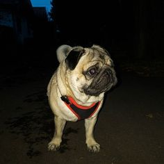 When your girl says she's staying home tonight but you see her taking a walk with another guy 😞💔 #mauricethepug #mauricethepugdotcom #latenight #nightwalk #disappointed #cheated #heartbroken #pugstory #puglife #pugchat #jealous #mygirl #summer #summernight #pug #mops #dog