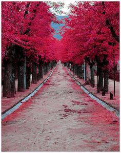 Wanting to stroll down the pink tree path!